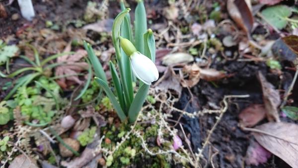スノードロップが咲きだしました。数はあまり増えていませんが、植え込んでから何年も