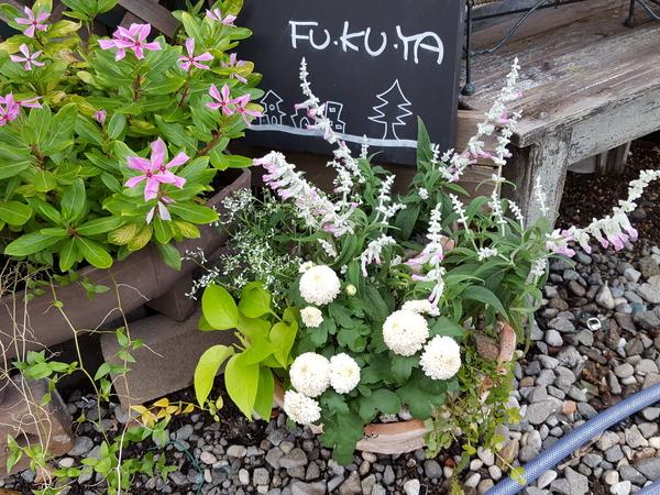 昨年秋に寄せ植えのお手伝いをさせて頂いた北鎌倉のFU.KU.YAさんの店先です。品種登録