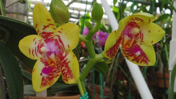 Phal.  Orchid World 'Bonnie Vasquez'   GM/12th WOC SM/JOGA AM/AOS