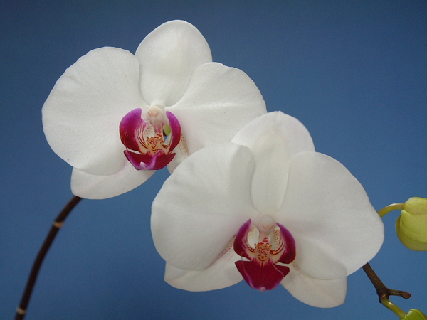 "Phal Grace Lady   ""Tainan Beauty"""