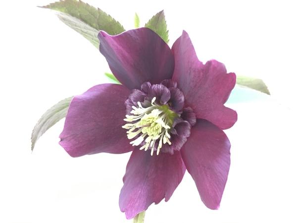 プルーン  2/12 のお花の状態です