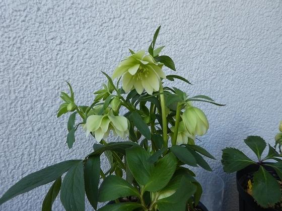 舞妓5号、 たわわに咲いています。まだまだ咲きそうだけど おしくらまんじゅう 状態