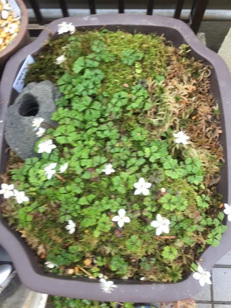 梅花オウレン満開、やや盛りを過ぎて、別の小鉢のオウレンはもう半分散ったけど、、