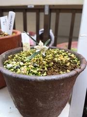今日そっと出雲コバイモの鉢、少し土を掘り起こし覗いてみました。3鉢とも芽の生育は