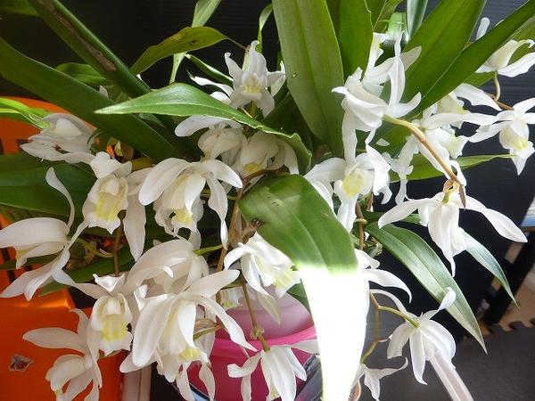 セロジネ インターメディア。 開花、、、、いい香りです。 少ないときはあんまり判り
