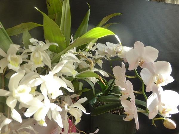 セロジネとミニ胡蝶蘭。 ミニ胡蝶蘭は蕾1個残して全開花です。