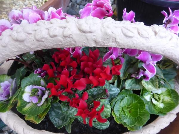 可愛い鉢にガーデンシクラメンとミニの葉牡丹。