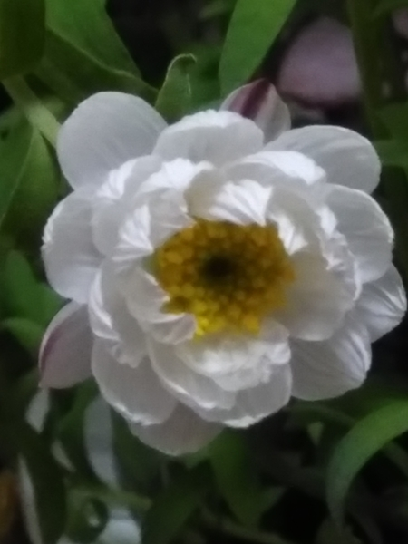 花かんざし一輪開花しました〜