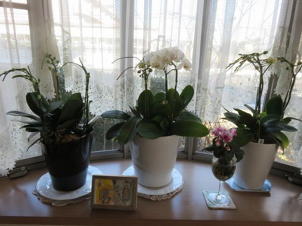 コチョウラン 今年もお花が咲きました。