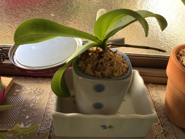 コチョウラン(胡蝶蘭)の写真 by のりたん 平成30年12月19日  今年も咲きます、ミニ