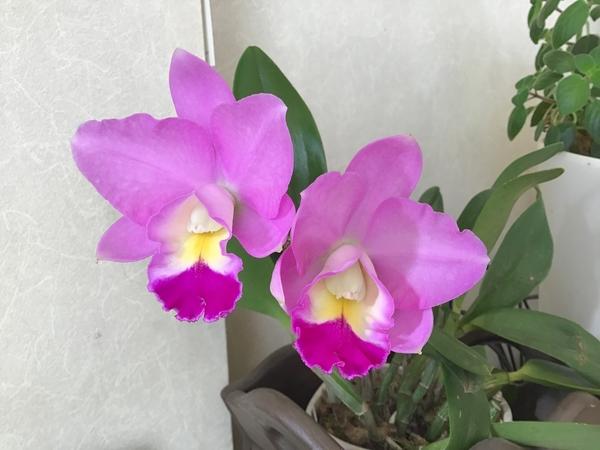 コチョウラン(胡蝶蘭)の写真 by のりたん 今朝、リビングのお掃除をしていたら咲い