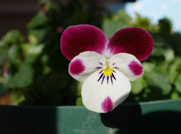 ビオラ ラパン&シャトン 2/6 植えつけてから摘芯して...やっと数輪咲き始めました。