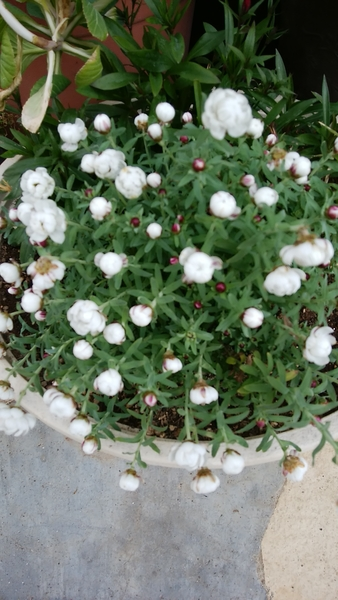 寄せ植えのハナカンザシが咲いて来ました。