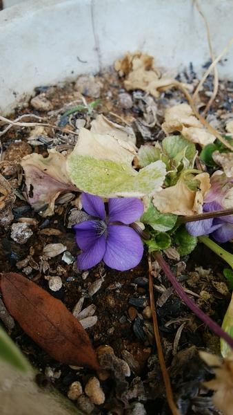 斑入り葉のスミレ、葉っぱがだいぶ枯れたけど咲いています