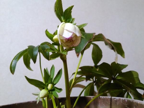 糸ピコティDDホワイト(2018.02.04撮影) 一番花が咲いてきました。