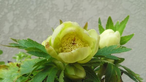 この花は((ダブルバイカラー♀ⅹ(ボッコネイ♀ⅹシングルゴールド♂)♂)♀ⅹ(オドルス ゴール