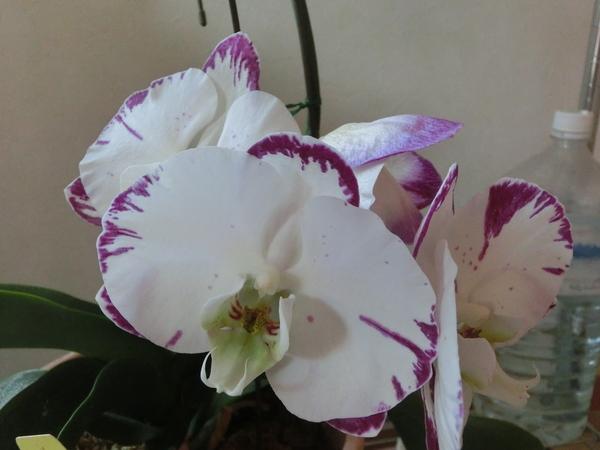コチョウラン(胡蝶蘭)の写真 by *さくら* 8月 胡蝶ラン 春から咲き続けてます(^_