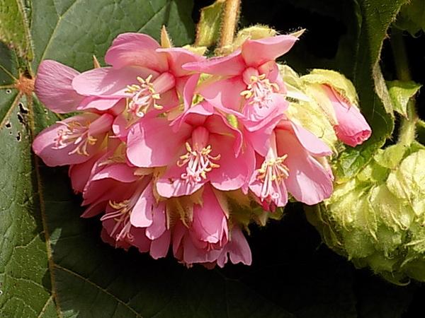 ドンベア・ワリッキー・・・まだ半分くらいしか咲いていない花房