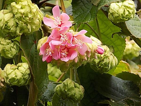 ドンベア・ワリッキー・・・たくさんの花房が同時に咲いたら、凄そう
