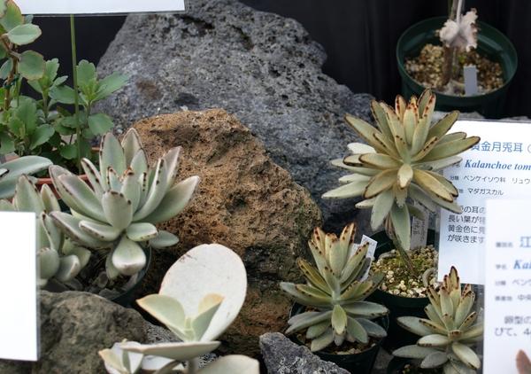 左が月兎耳、右が黄金月兎耳。   多肉植物と、穴の開いているような石(火山岩?)っ
