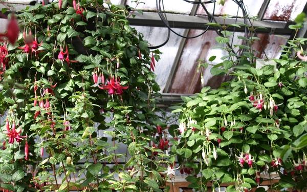 こんな感じで温室の天井近くから、吊り下げてあります。  ロマンチックな花ばかり~💛