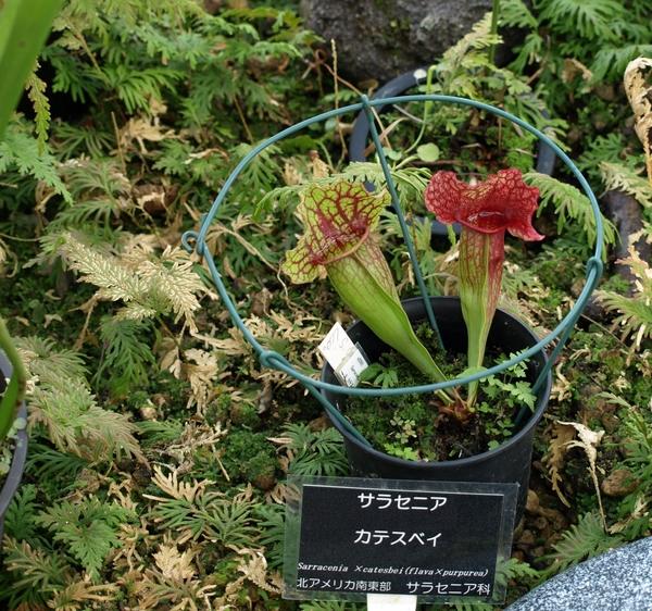 食虫植物には、いまのところ興味がないので、この写真だけ。   つれあいは、カッコイ