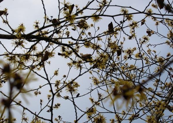 シナマンサク咲く、オソラノモヨウ。