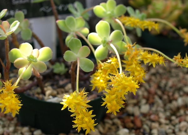 セダム、薄化粧。   黄色のお花、可愛い~💛