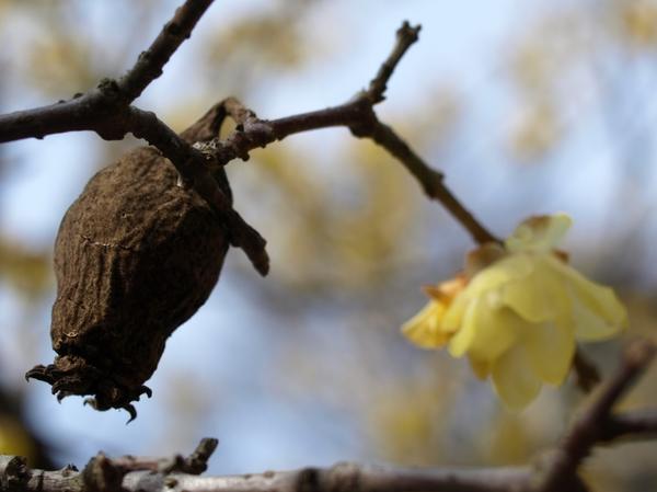 ロウバイの花と、去年の実??