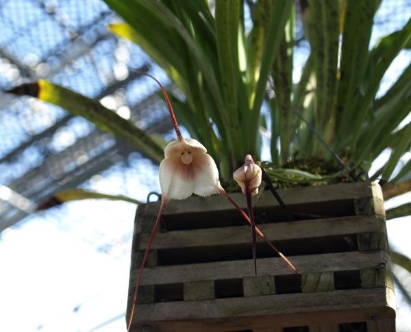 ランの原種、ドラクラ、アマリアエ。   変わったランです。カッコイイです。  花は、