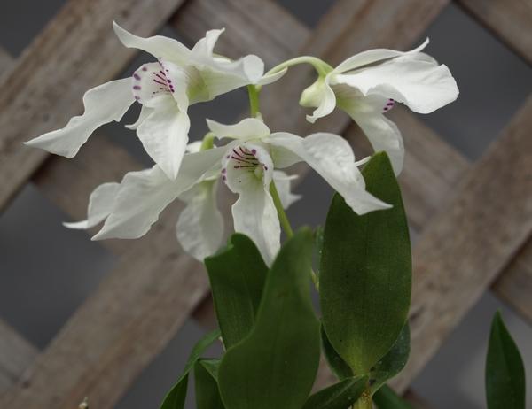 デンドロビウム、ジョンソニアエ。  白い花に入った紫のラインが素敵💛