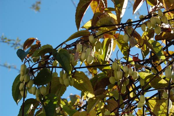 1.1 常緑 冬咲きクレマチス アンスンエンシス 小さな蕾をたくさんつけています。