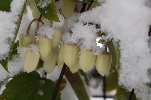 1.22 この日は30㎝の積雪に⛄ すっぽり雪を被って寒さで肩を寄せ合っているように見え