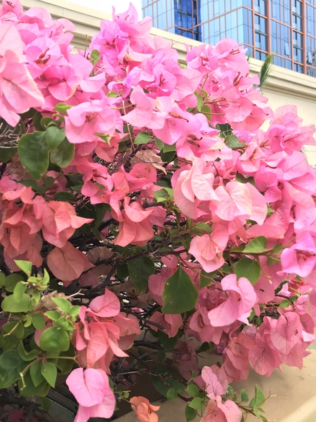 ブーゲンビリアが  よく咲いてました