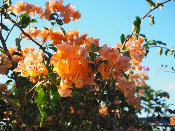 オレンジのブーゲンビリア 可愛い 欲しい!