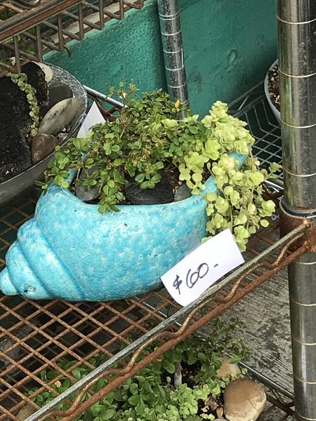 こちらは 7000円近くするということ 鉢は なかなか可愛いとは 思いますが・・・(´∀`)
