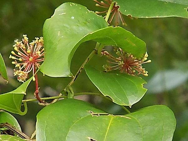 サルトリイバラの花  この葉(固く大きめの葉)でヨモギ団子を包んで蒸したものをこ