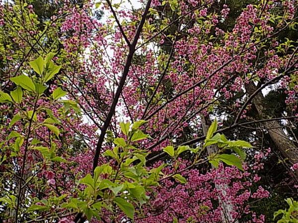 葉桜になった、寒緋桜