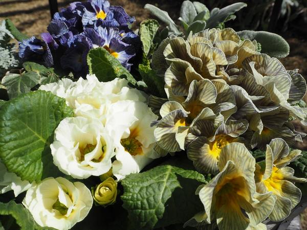 プリムラ三昧。お花のふわふわ感がたまりません。 ニュアンスのあるお色でまとめまし