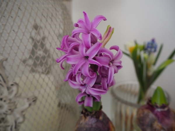 我が家の水栽培ヒヤシンス開花第一号。 甘めなピンク色。 香りも甘い♪