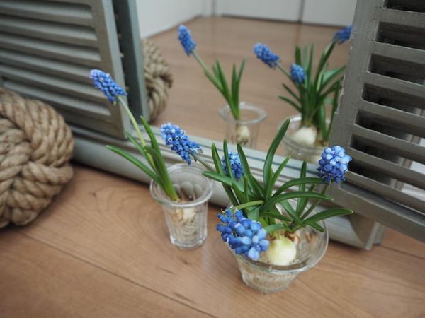 水栽培にしたムスカリを鏡の前にディスプレイ。  数が増えて、ボリュームアップ◎