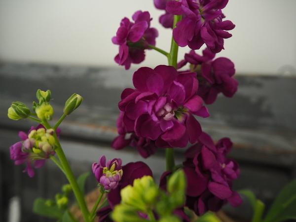 ボルドー系のストック。 落ち着いた雰囲気だけれども、甘い香りが魅力的。