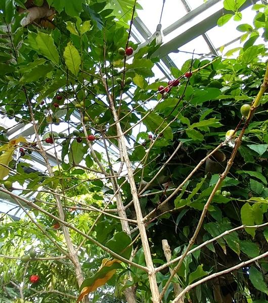 温室 コーヒー☕豆