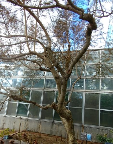 温室の外にある、ジャカランダ