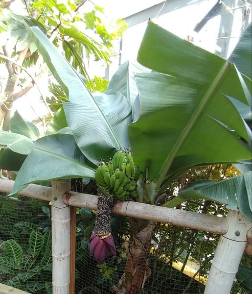 温室 バナナ