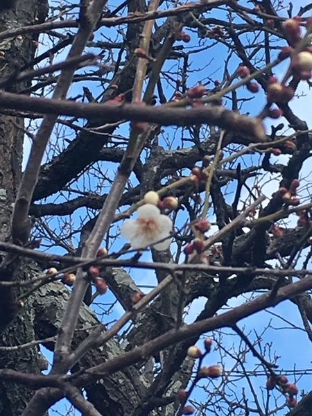 あっ、梅やっと咲いた! 📷2018.2.7