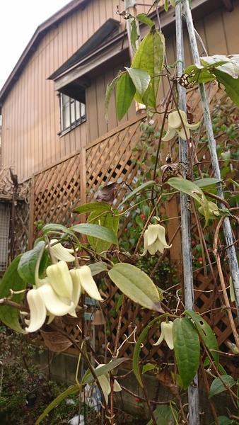 このかわいいクレマチスが寒い中咲いてくれるのが、何より嬉しい(*^^*)