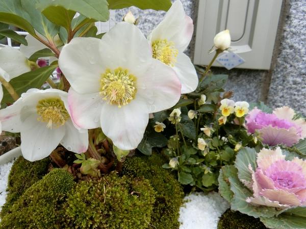 1.08 一年前は花後に買ったので真坂こんな色だとは、 ニゲルと思っているクリスマ