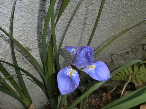 1.10 寒咲きアヤメ 冬にこの鮮やかさは目だちますが、嫌な華やかさはありません。