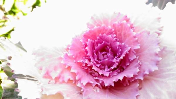 葉牡丹 きれいな姿にうっとり ♡ (*'ω'*)